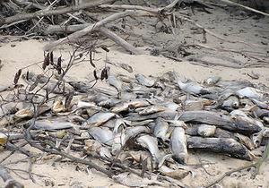 Погибшую в Киевском море рыбу закапывают на берегах водохранилища