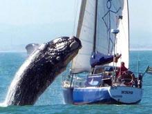 Кит приласкал 10-метровую яхту, приняв ее за подружку