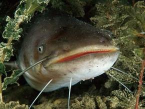 Двухметровый сом укусил рыболова за бедро и скрылся
